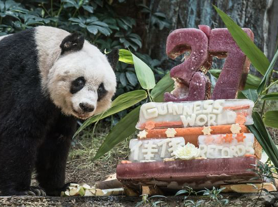 Jia Jia the panda's 37th birthday. She is next to a large cake and seems to be smiling.